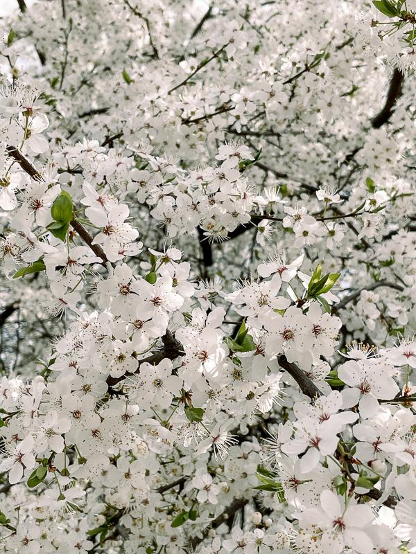 białe kwiatki zdjecie telefonem